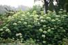 Lime Rickey Hydrangea Hedge