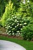 Tall Lime Rickey Hydrangea Bush By Arborvitae