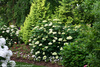 Blooming Lime Rickey Shrub in Landscaping