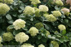 Lime Rickey Hydrangea Flowers and Foliage