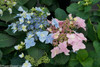 Tuff Stuff Ah Ha Hydrangea Bush With Pink and Blue Flowers