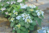 Small Tuff Stuff Ah Ha Hydrangea Shrub With Blue Flowers