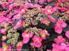 Tuff Stuff Red Mountain Hydrangea Foliage and Flowers