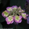 Tuff Stuff Hydrangea Bloom Up Close