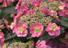 Pink Tuff Stuff Hydrangea Flower Pedals and Florets