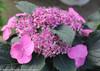 Pink Tuff Stuff Hydrangea Flower Side View
