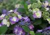 Purple Tuff Stuff Hydrangea Flowers and Leaves