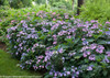 Tuff Stuff Hydrangea Hedge With Purple Flowers