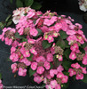 Pink Tuff Stuff Hydrangea Flowers