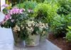 Tuff Stuff Hydrangea in Garden Planter