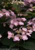 Pink Tiny Tuff Stuff Hydrangea Flowers