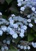 Blue Tiny Tuff Stuff Hydrangea Flowers