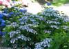 Tiny Tuff Stuff Hydrangea Shrub with Blue Flowers