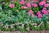 Cityline Venice Hydrangea Border in Flower Landscape