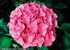 Pink Cityline Venice Hydrangea Flower Close Up