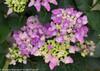 Purple Cityline Venice Hydrangea Flowers Close Up