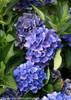 Blue Cityline Venice Hydrangea Flowers Close Up