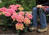 Cityline Venice Hydrangea Next To Gardener