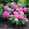 Cityline Vienna Hydrangea Macrophylla Flowers and Leaves