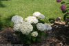 Small Invincibelle Wee White Hydrangea Shrub With Large Flowers