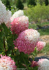 Zinfin Doll Hydrangea Flowers Changing From White to Pink