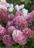 Zinfin Doll Hydrangea Panicle Flowers