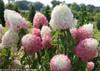 Zinfin Doll Hydrangea Flower & Stems