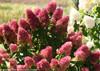 Dark Pink Zinfin Doll Hydrangea Blooms