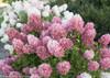 Zinfin Doll Hydrangea Hedge