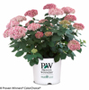 Invincibelle Spirit II Hydrangea in Branded Pot