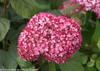 Dark Pink Invincibelle Spirit II Hydrangea Flower