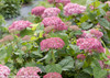 Pink and White Invincibelle Spirit II Hydrangea Blooms