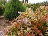Funshine Abelia Shrub in Fall