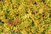 Funshine Abelia Leaves