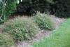 Pinky Bells Abelia Shrub Blooming