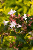 Ruby Anniversary Abelia Foliage