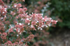 Ruby Anniversary Abelia Branch Covered in Blooms