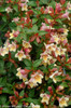 Sunny Anniversary Abelia Foliage and Flowers