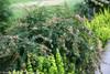 Sunny Anniversary Abelia Bush Blooming