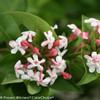 Sweet Emotion Abelia Flowers and Leaves