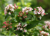 Sweet Emotion Abelia Blooms