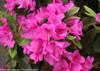 Flowering Bloom-A-Thon Lavender Azalea Cluster