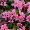 Bloom-A-Thon Pink Azalea Flowers and Foliage