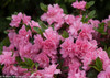 Bloom-A-Thon Pink Double Azalea 5