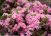 Bloom-A-Thon Pink Azalea Flower Clusters