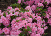 Bloom-A-Thon Pink Azalea Shrub Covered in Blooms