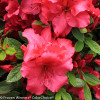 Bloom-A-Thon Red Azalea Flowers Up Close