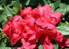 Red Bloom-A-Thon Red Azalea Blooms