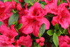 Bloom-A-Thon Red Azalea Foliage and Flowers