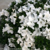 Bloom-A-Thon White Azalea Flowers